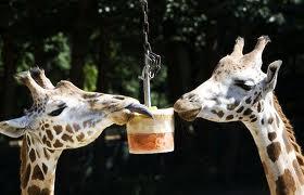 giraffesicecream