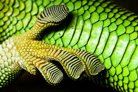 lizardfoot